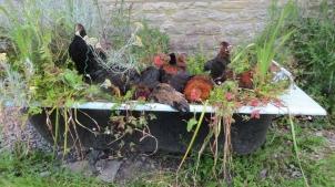 Limemead ChickensWEB